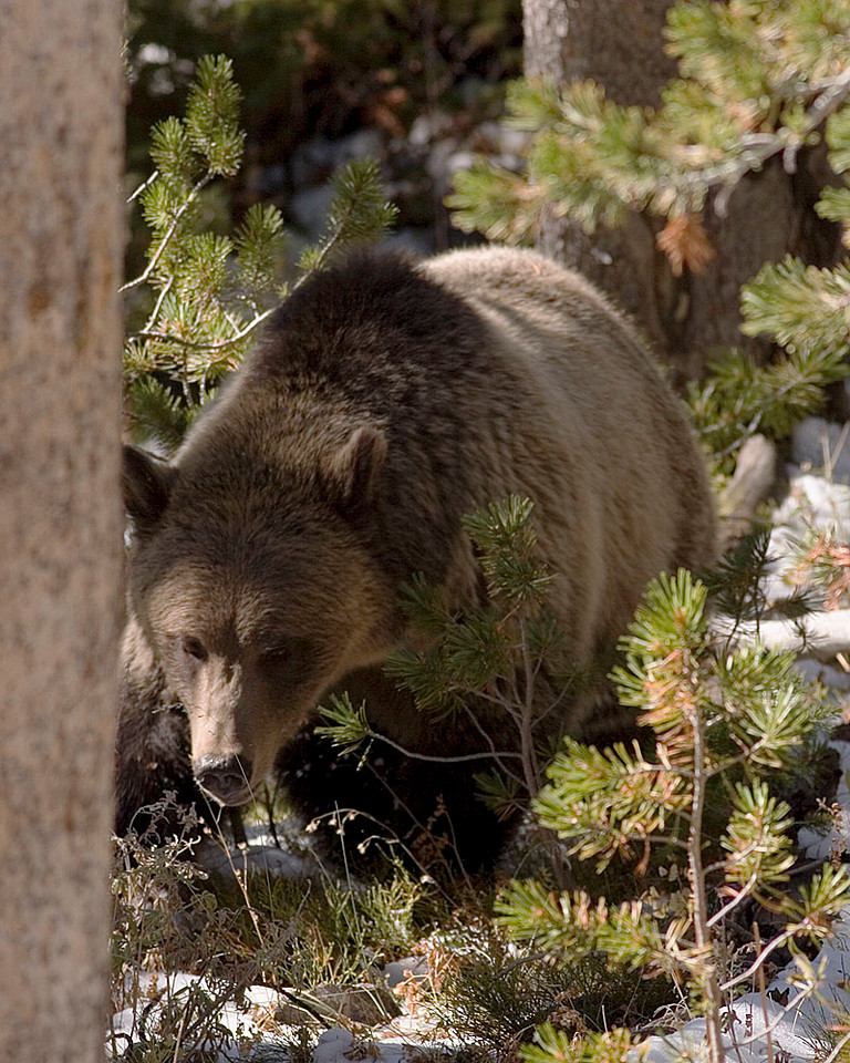 Dunraven Pass Grizzly.  This guy got very  close (or we did).