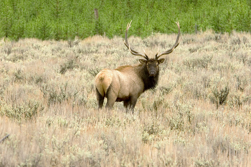 Bull Elk in Hayden Valley.