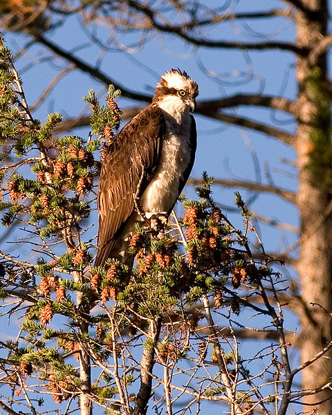 Osprey east of West Yellowstone.