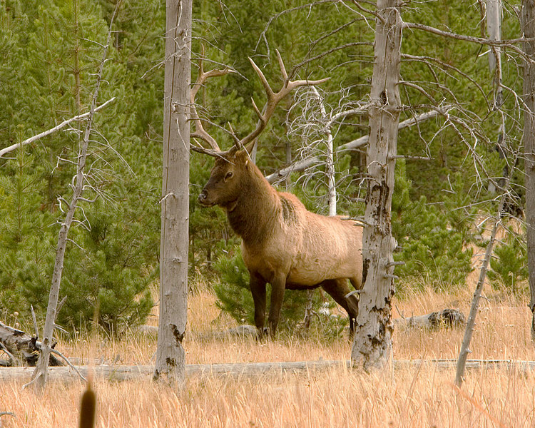 West Yellowstone Bull Elk posturing.