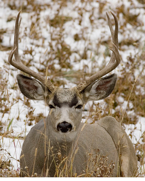 Grand Canyon of the Yellowstone Mule Deer buck.