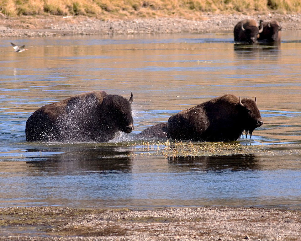 Bison cross the river instead of the street.  Actually, they crossed the street right after this shot.
