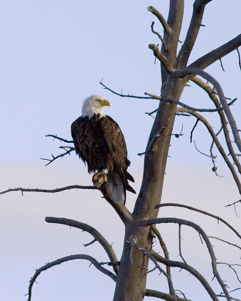 The magnificant Bald Eagle just east of West Yellowstone entrance.