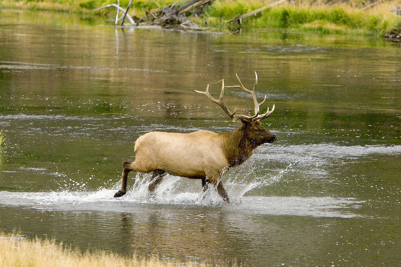 Young Bull elk on the run from his elder.