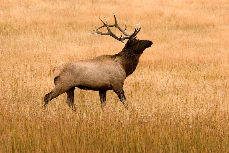 Hayden Valley Bull Elk.