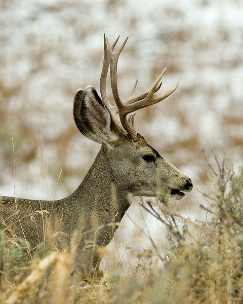 Younger Mule Deer buck.