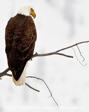 Eagle BL8I2518 web