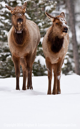 Two Elk _U0U0011 web