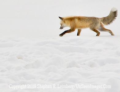 Fox on Snow 2 BL8I9733 web