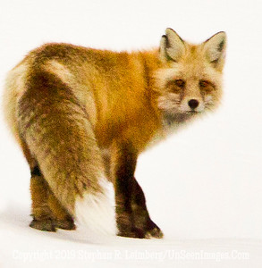 FOX BL8I2197 web