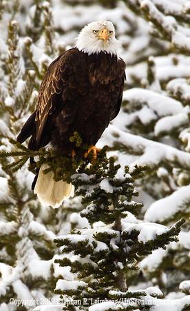 Eagle Snow Branch BL8I3823 web