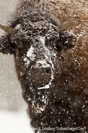 Frosty Bison BL8I5525 web
