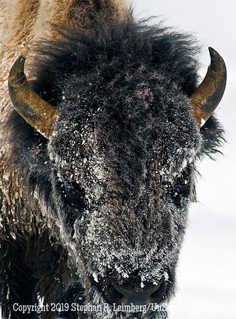 Frosty Bison BL8I4898 web