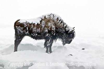Frosty Bison Profile BL8I3113 web