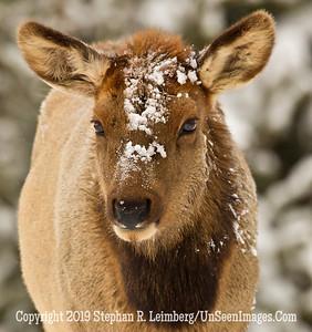 Elk Close-Up BL8I5379 web
