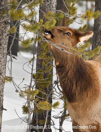 Elk Eating BL8I2927 web