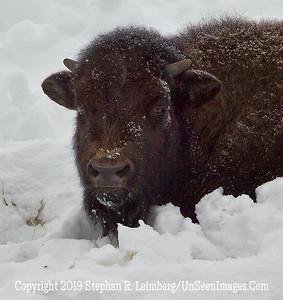 Baby Bison Up Close BL8I1754 web
