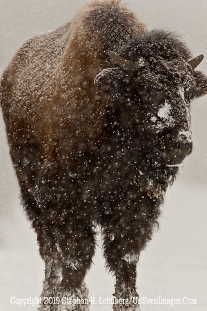 Favorite Bison 2 BL8I5500 web