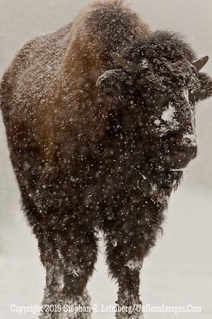 Favorite Bison 2 BL8I5500 web