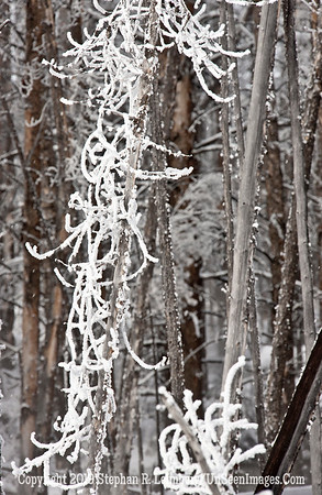 Frosted Trees _U0U0106 web