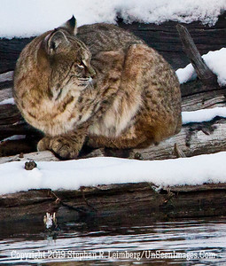 Bobcat on Log  Close-Up BL8I4418 web
