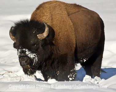 Red Eyed Bison BL8I4274 web