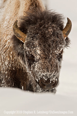 Best Bison Head BL8I4897 web