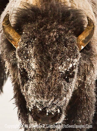 Best Bison Head 2 BL8I4862 web