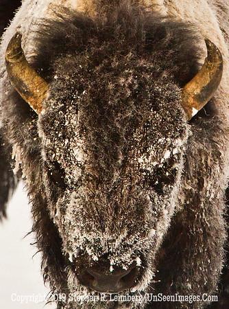 Best Bison Head 2 BL8I4862 web