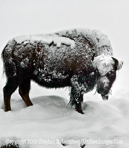Frosty Bison Full Body BL8I3070 web