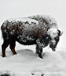 Frosty Bison Full Body BL8I3070 web