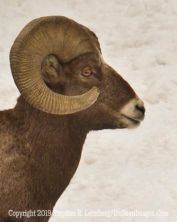 Mountain Goat Head BL8I1458 web
