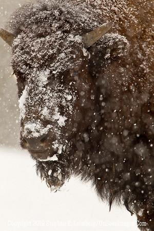 Favorite Bison 3 BL8I5520 web