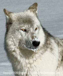 Wolf Head BL8I0660 web