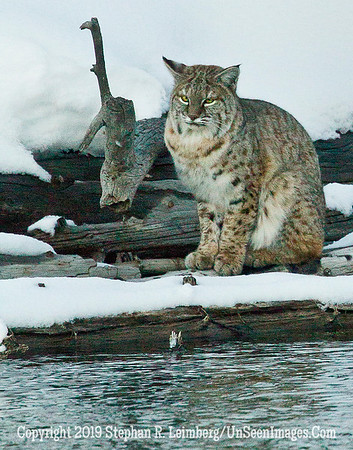 Bobcat 1  BL8I4531 web