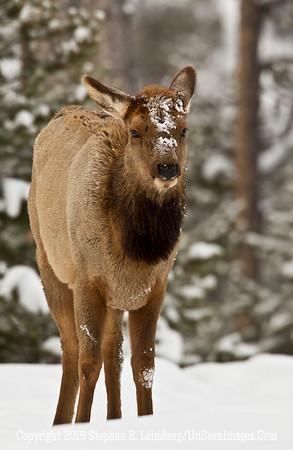 Elk Straight On BL8I5363 web