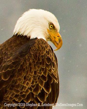 Eagle in Snow BL8I2626 web