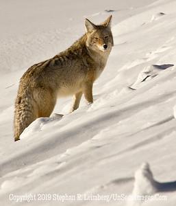 Fox in Snow BL8I0821 web