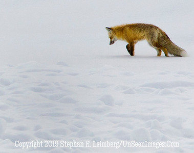 Fox in Snow BL8I9731 web
