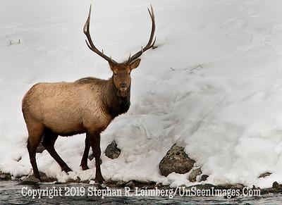 Bull Elk_U0U0107 web