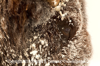 Best Bison Head 3 BL8I4918 web