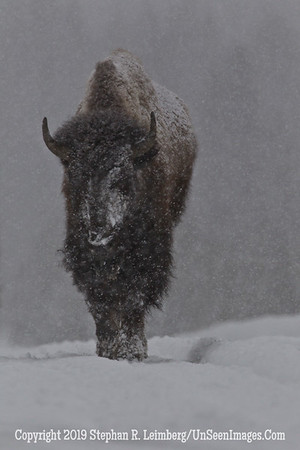 Favorite Bison 4 BL8I5498 web