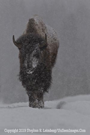 Favorite Bison 4 BL8I5498 web