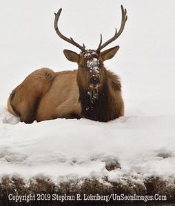 Bull Elk Sitting BL8I5331 web