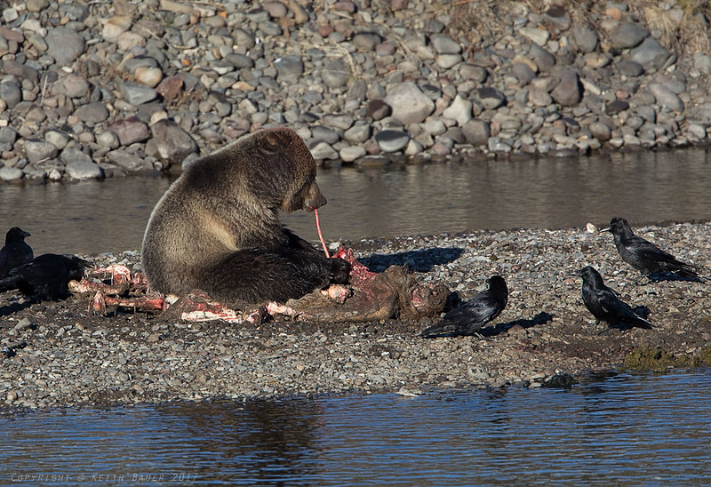 Grizzly working on an Elk Carcass