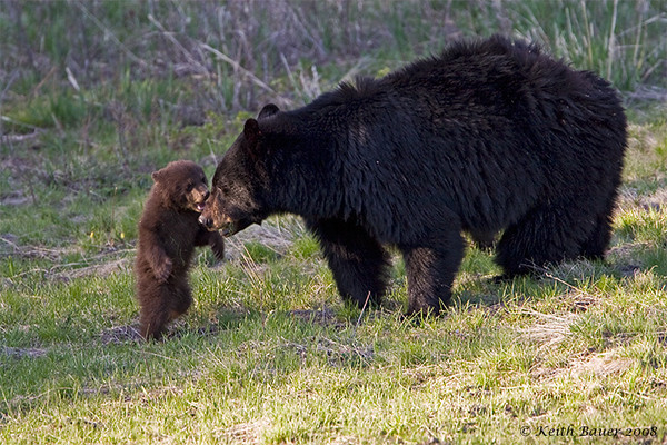 Mother Black Bear with one of her cubs