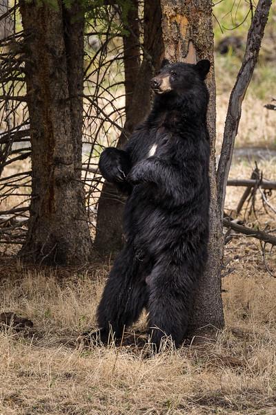 Black Bear Scratching his back