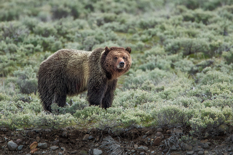 Grizzly - Check out the head - after eating