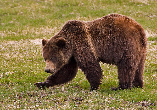Grizzly Bear - What a look!