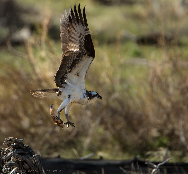 Osprey liftoff with a meal